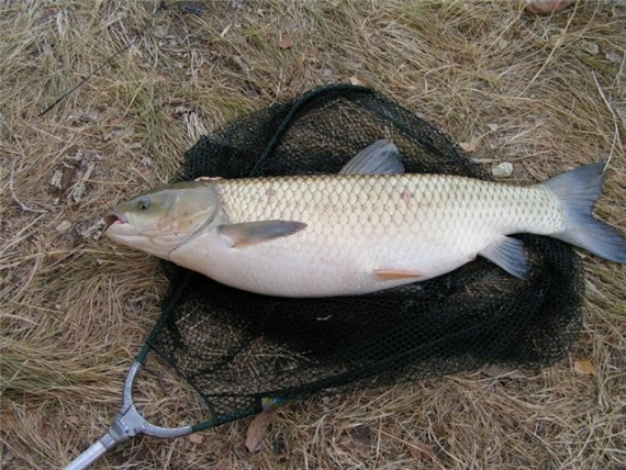 какая рыба клюет на пшеницу