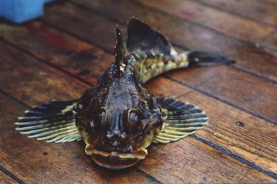 рыба бычек