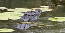 В реке Кубань ловят живого крокодила