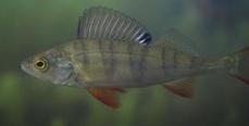 Рыбакам на заметку: Рыба способна улавливать звуки в широком диапазоне частот — от 5 Гц до 13 кГц.