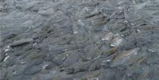С наступлением нереста в Забайкалье запретят лов рыбы
