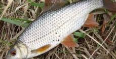 Прикормка плотвы. Хитрости и секреты рыбаков